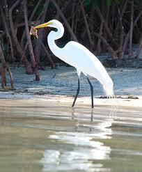 Florida birds images Florida birds go fishing wind against current jpg