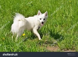 american eskimo dog food german spitz american eskimo dog stock photo 270955310 shutterstock