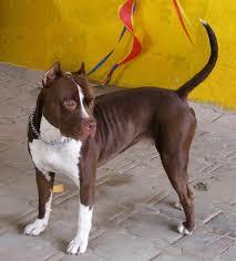 l american pitbull terrier a p b t american pit bull terrier all big dog breeds