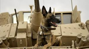 belgian shepherd los angeles max premieres stars military dogs