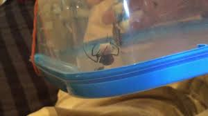 red black spider laying egg sac youtube