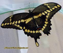 in raising the swallowtail butterfly