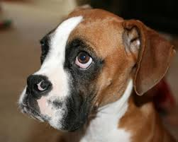 boxer dog mean what is a good age to have a male boxer dog neutered
