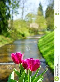 Blumen Baden Baden Tulpen Und Der Oos Fluss In Baden Baden Stockbild Bild 90130229