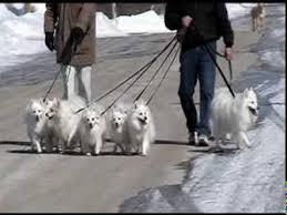 american eskimo dog michigan american eskimo dog youtube