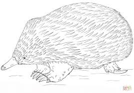 echidna coloring page free printable coloring pages