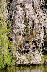 Botanical Gardens In Brooklyn by Cherry Blossoms Galore Promised For Brooklyn Botanic Garden