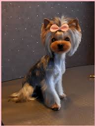 female yorkie haircuts styles just the head cut 12195086 992784837455668 5831458321803196369 o