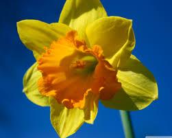 daffodil flower against blue sky hd desktop wallpaper widescreen