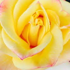 yellow roses with tips yellow with pink tinted petal tips reality seo