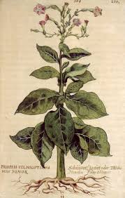 plants native to france tobacco from the new world indigenous and non indigenous plants