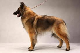 belgian sheepdog epilepsy belgian tervuren facts pictures puppies temperament breeders