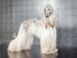 afghan hound stupid 485 best sighthound photography images on pinterest afghans