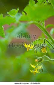 ornamental tomato stock photos ornamental tomato stock images