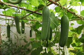 When Should I Start Planting My Vegetable Garden by Growing Cucumbers In Container Gardens
