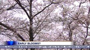 blossom trees could high park s beloved cherry blossom trees bloom earlier this year
