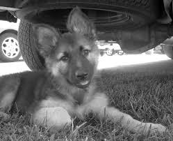 german shepherd puppy 8x10 photo black and white alsatian