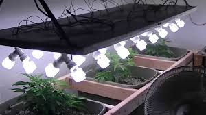 best light to grow pot organic cfl indoor medical marijuana grow part 1 youtube