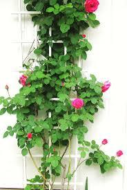 34 best plants for garden ideas images on pinterest garden