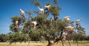 Judge A Tree By Its Fruit - the luxurious from these tree climbing goats produces argan