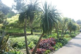 Ventnor Botanic Gardens File Palm Trees At Ventnor Botanic Garden 2 Jpg Wikimedia Commons