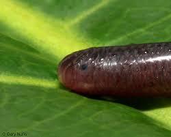 Madagascar Blind Snake Snakes Of India Ramphotyphlops Braminus