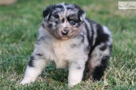 australian shepherd mix puppies for sale australian shepherd puppies puppies puppies