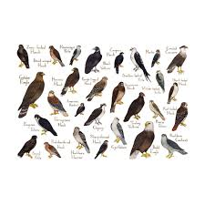 raptors of north america field guide art print american kestrel