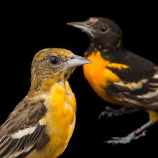baltimore oriole national geographic