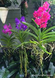 vanda orchid vanda orchid roots to grow in the open air more vanda orchid