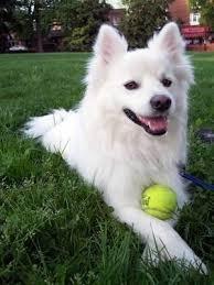 american eskimo dog odor 90 best images about easton u0026 friends on pinterest
