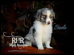 australian shepherd puppies under 500 rhr miniature australian shepherds puppies