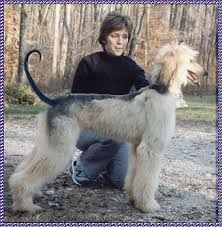afghan hound 9 months blue sky afghan hounds home page breeder of afghan hounds afghan