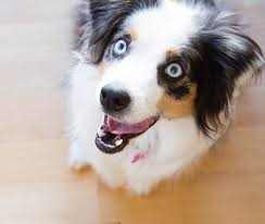 australian shepherd teeth no kibble doesn u0027t clean your dog u0027s teeth u2013 nomnomnow blog