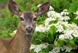 how to keep deer out of your garden planet natural