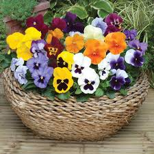 Best Plants For Hanging Baskets by Plants For Winter Pots And Hanging Baskets Johnstown Garden Centre