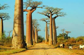trees so big you can live inside them jenman safaris