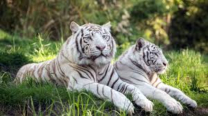 cats wallpapers cats cat wallpapers free leapard jaguar image of
