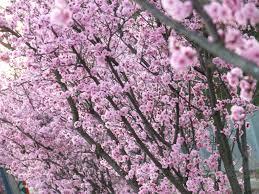 hanami cherry blossom festival at national rhododendron gardens