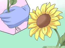 how to plant sunflower seeds with pictures wikihow
