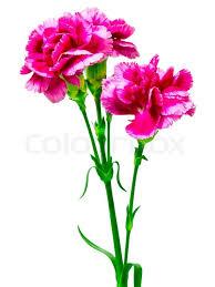 carnation flowers carnation flower stock photo colourbox