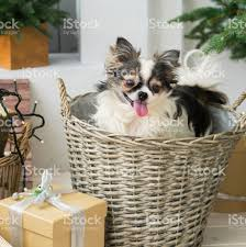 longhair chihuahua dog on wicker basket christmas decorations in