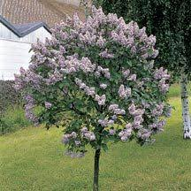 japanese tree lilac this gem of the lilac world can be grown as a