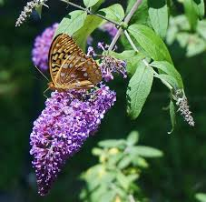butterfly bush how to plant grow and care for buddleia the