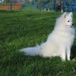 american eskimo dog houston 21 best adoptable dogs images on pinterest houston other and she is