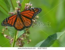 monarch butterfly wings spread on flower stock photo 618778013