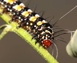 florida native plant list exotic plants affect native moth u2013 floridamuseumscience