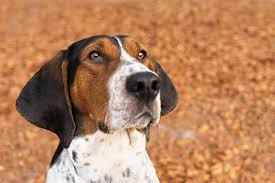 does an afghan hound shed treeing walker coonhound dog breed information pictures
