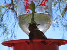 the backyard birder praying mantis can be a threat to hummingbirds