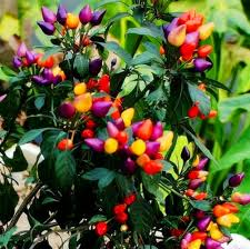 50pcs ornamental organic chilli pepper seeds edible home